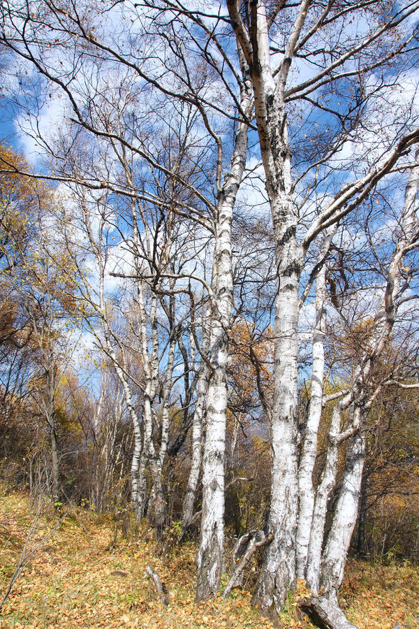 Biały brzozy las obrazy royalty free