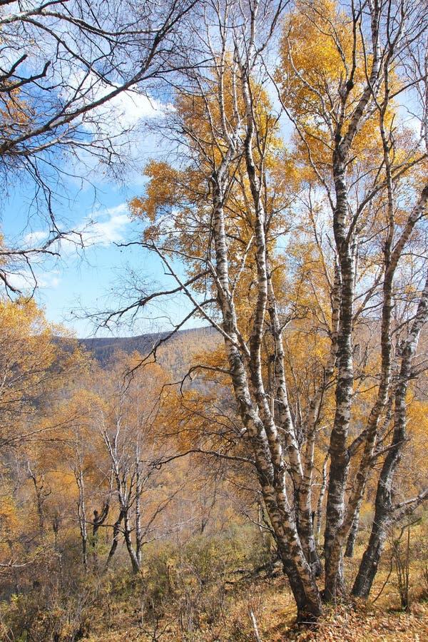 Biały brzozy las zdjęcia stock