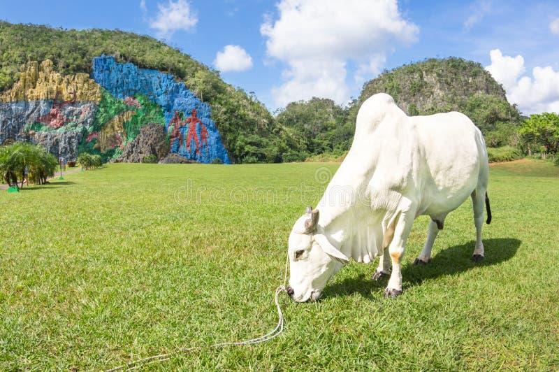 Biały byk odpoczywa i pasa na łące w Val Vinales Kuba zdjęcia royalty free