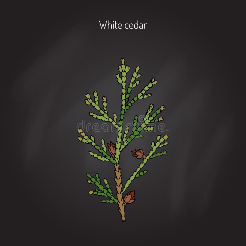 Biały cedrowy drzewo royalty ilustracja