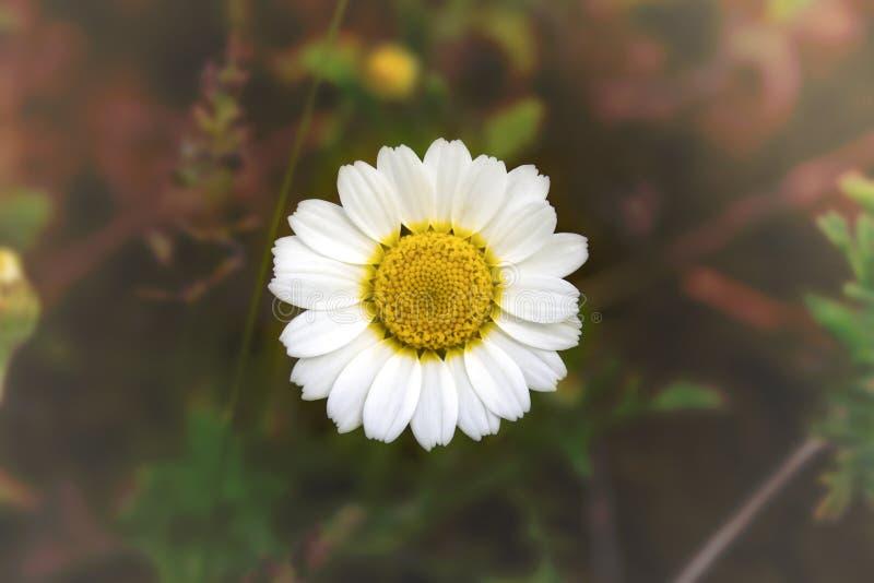Biały chamomile - stokrotka na zamazanym tle obrazy royalty free