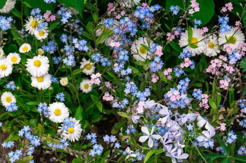 biały chamomiles błękitny kwiaty zdjęcie stock