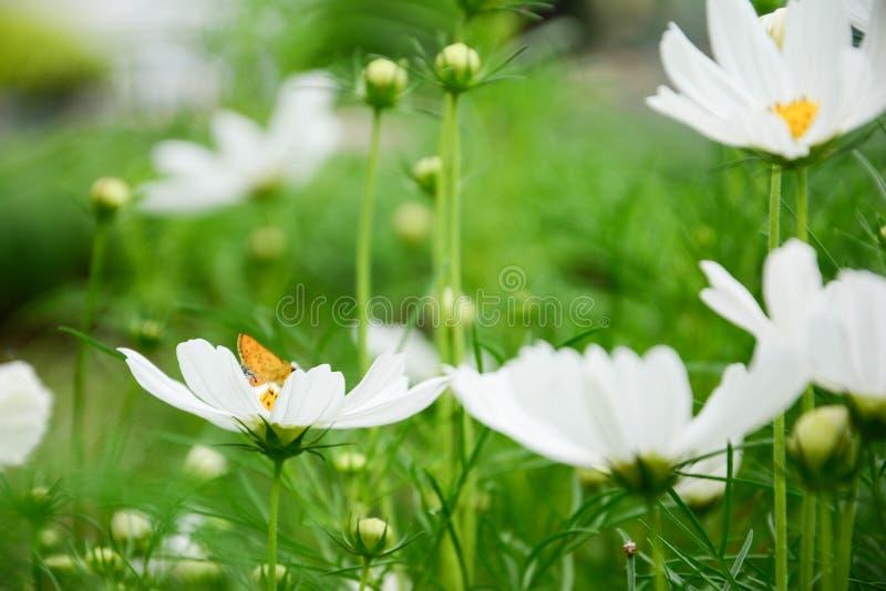 Biały cosmo z malutkim żółtym motylem w parku wśród pięknego dnia w plamy tle zdjęcia stock