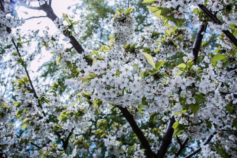 Biały czereśniowy kwiat fotografia royalty free