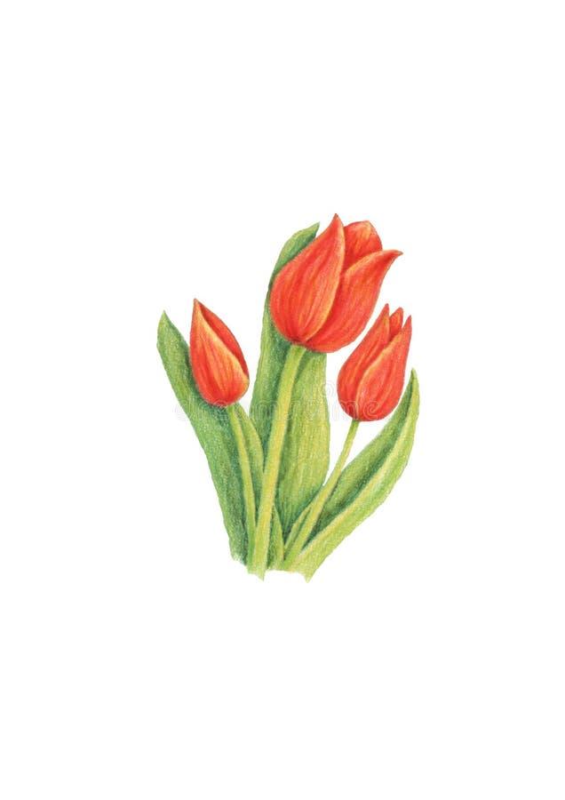 biały czerwoni tło tulipany ilustracja wektor