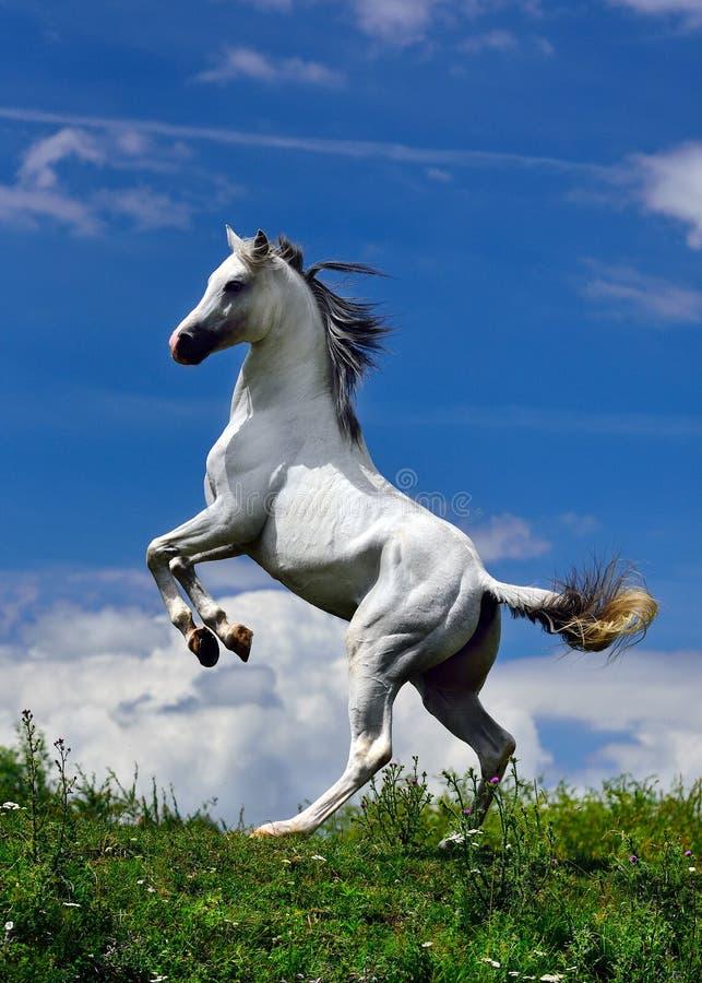 Biały Czysty Arabski koń pozuje w dwa nogach zdjęcia royalty free