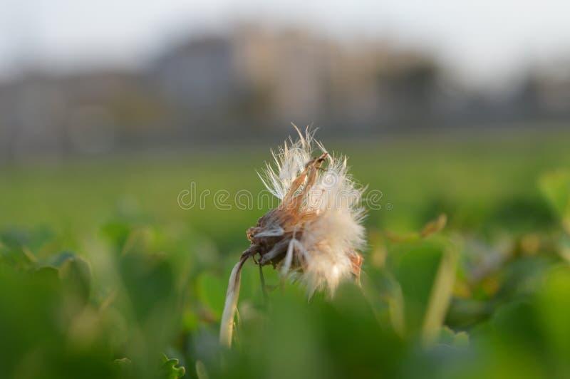 Biały Daffodil fotografia stock