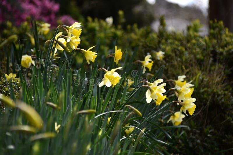 Biały Daffodil kwiat fotografia royalty free