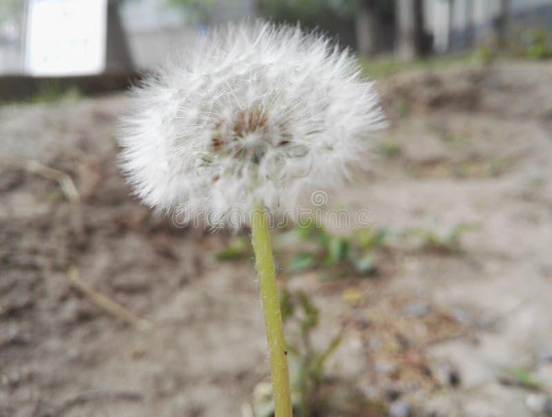 Biały dandelion ï ¼ Œready latać w wiatrze zdjęcie stock