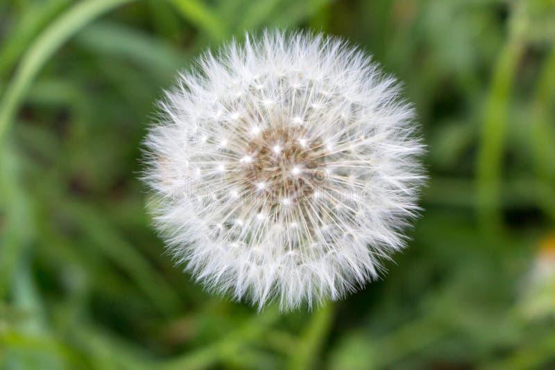 Biały dandelion kwiat w unfocused zielonej trawie zbliżenia kolorów kwiatu czerwieni kolor żółty Biały blowball makro- Śródpolny  obrazy stock