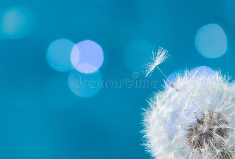 Biały dandelion na błękicie zdjęcia royalty free
