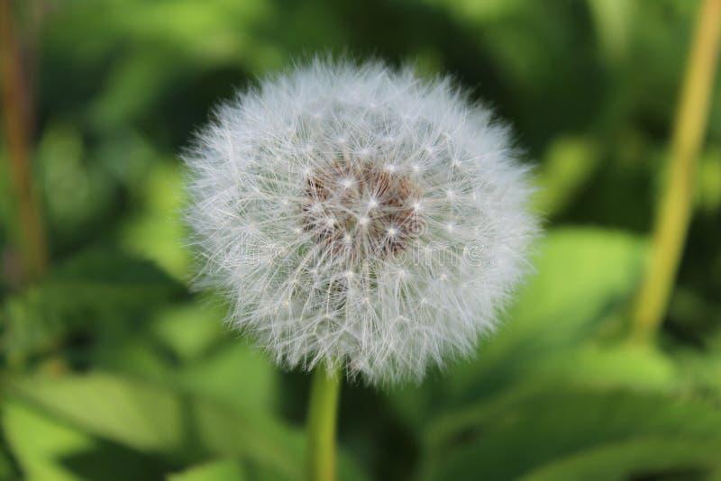 Biały dandelion na zielonym tle w ogródzie na słonecznym dniu obraz stock
