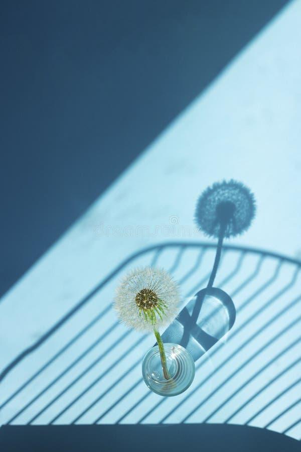 Biały Dandelion w małym szkle w jaskrawym świetle z liniami cienie na błękitnym tle Kreatywnie współczesna wystrzał sztuka pionow zdjęcia royalty free
