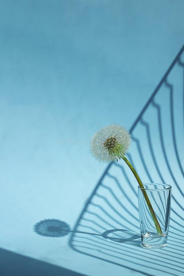 Biały Dandelion w małym szkle w jaskrawym świetle z liniami cienie na błękitnym tle Kreatywnie współczesna wystrzał sztuka pionow obrazy royalty free