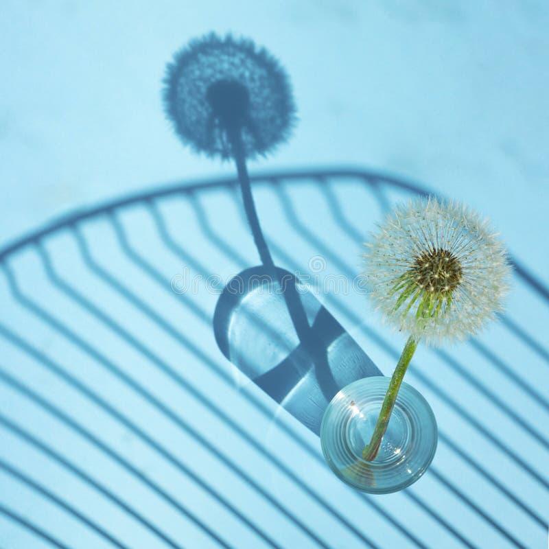 Biały Dandelion w małym szkle w jaskrawym świetle z liniami cienie na błękitnym tle Kreatywnie współczesna wystrzał sztuka kwadra fotografia stock