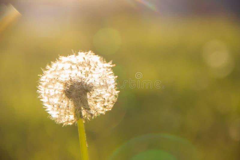Biały dandelion w promieniach wieczór słońce zdjęcia royalty free
