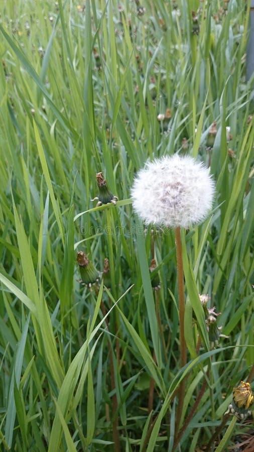 Biały dandelion w trawie obraz royalty free