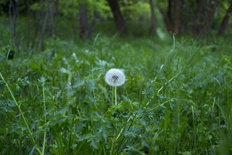 Biały dandelion w zielonym lesie obrazy stock