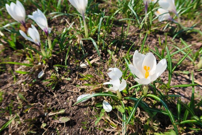 Biały delikatny krokusów kwiatów dorośnięcie w wiośnie na ziemi zdjęcia stock