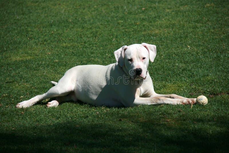 Biały dogo argentino pies z balowym lying on the beach na zielonej trawie zdjęcie royalty free