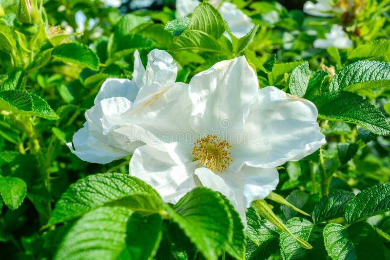 Biały Dogrose, wrzosa eglantine kwiat Dziki Różany biodra zbliżenie zdjęcie royalty free