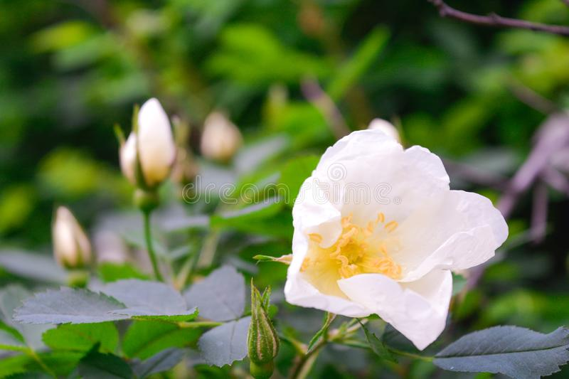 Biały Dogrose, wrzosa eglantine kwiat Dziki Różany biodra zbliżenie zdjęcia stock