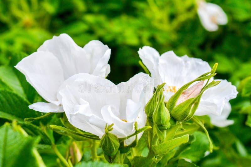 Biały Dogrose, wrzosa eglantine kwiat Dziki Różany biodra zbliżenie obrazy stock