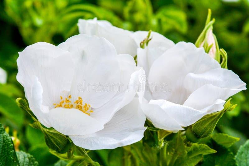 Biały Dogrose, wrzosa eglantine kwiat Dziki Różany biodra zbliżenie fotografia royalty free