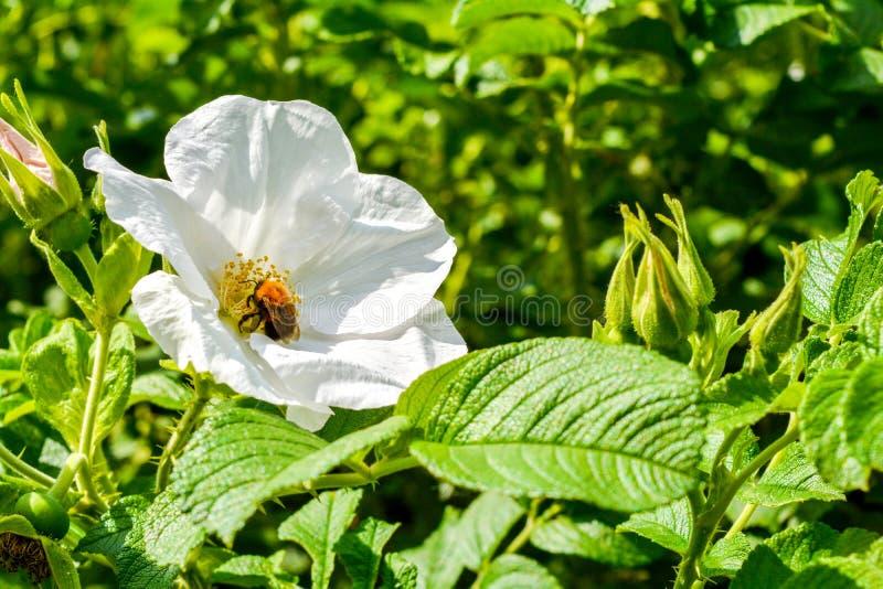 Biały Dogrose, wrzosa eglantine kwiat Dziki Różany biodra zbliżenie fotografia stock