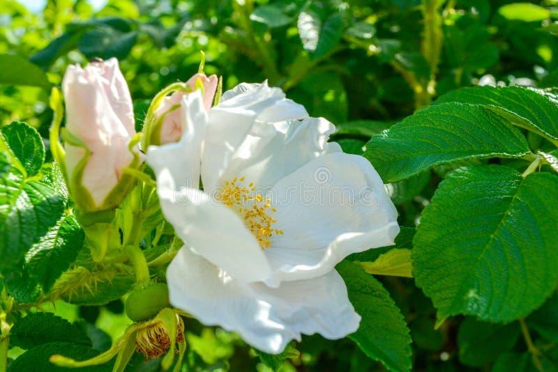 Biały Dogrose, wrzosa eglantine kwiat Dziki Różany biodra zbliżenie zdjęcie stock