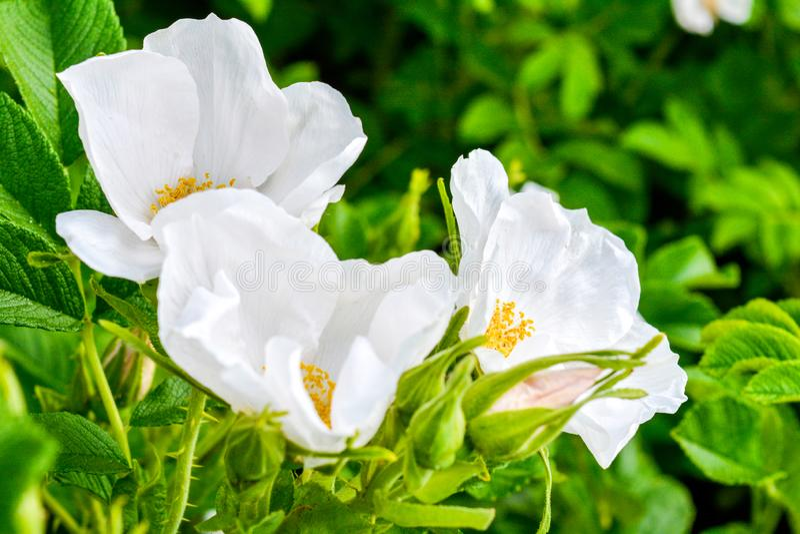 Biały Dogrose, wrzosa eglantine kwiat Dziki Różany biodra zbliżenie zdjęcia royalty free
