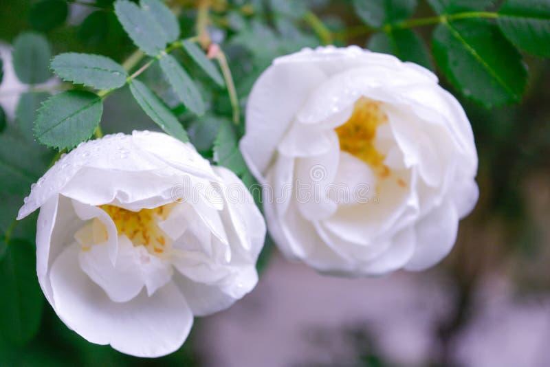 Biały Dogrose, wrzosa eglantine kwiat Dziki Różany biodra zbliżenie obrazy royalty free