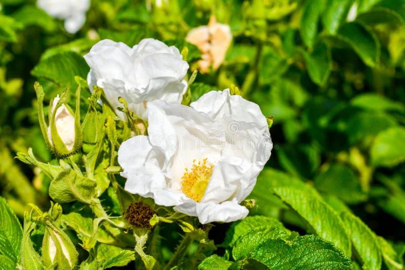 Biały Dogrose, wrzosa eglantine kwiat Dziki Różany biodra zbliżenie obraz royalty free
