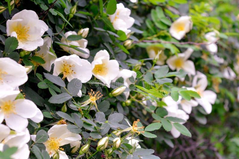 Biały Dogrose, wrzosa eglantine kwiaty Dziki Różany biodra zbliżenie obraz stock