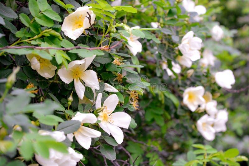 Biały Dogrose, wrzosa eglantine kwiaty Dziki Różany biodra zbliżenie obrazy royalty free