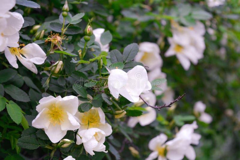 Biały Dogrose, wrzosa eglantine kwiaty Dziki Różany biodra zbliżenie obraz royalty free