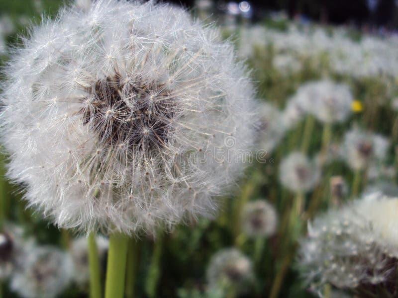 Biały dojrzały dandelion na tle pole obraz stock