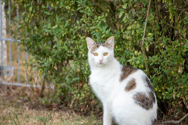 Biały domowy kot patrzeje w kamerę z brązem łata obsiadanie przed zielonym krzakiem fotografia stock