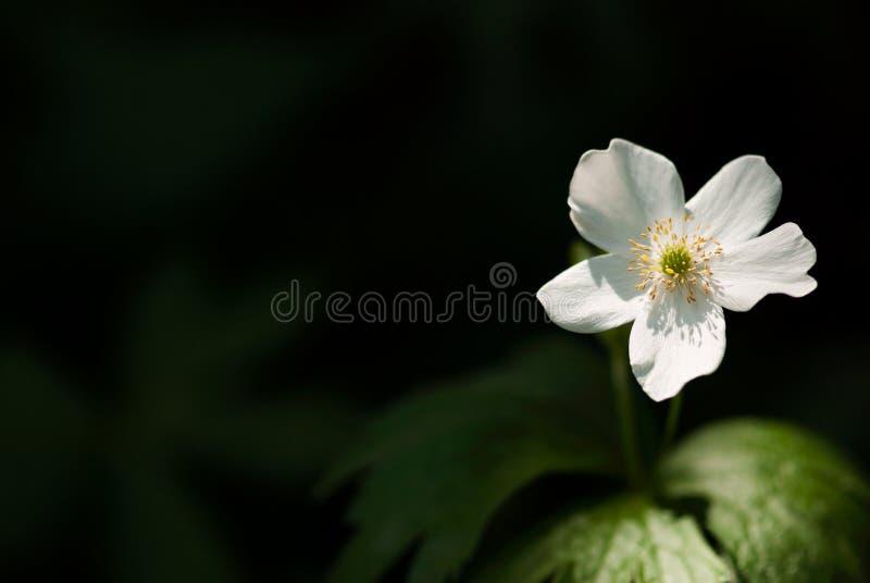Biały Drewniany anemon Przeciw Ciemnemu tłu fotografia stock