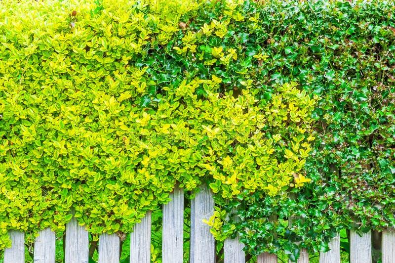 Biały drewniany ogrodzenie przerastający z zielonymi liśćmi obraz stock