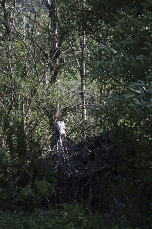 Biały drzewo wśród zielonych wrogów zdjęcie stock
