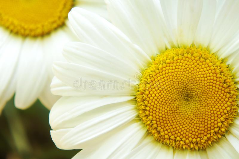 Biały duży kwiatu chamomile, kwiatu chamomile zakończenie, żółci środkowi biali płatki, zakończenie obraz stock
