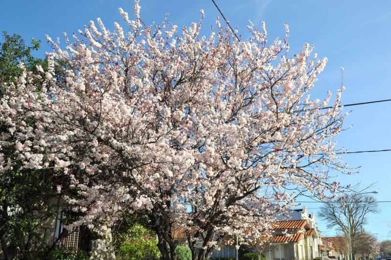 Biały dziki Himalajski czereśniowy okwitnięcie, japończyka Sakura drzewo fotografia stock