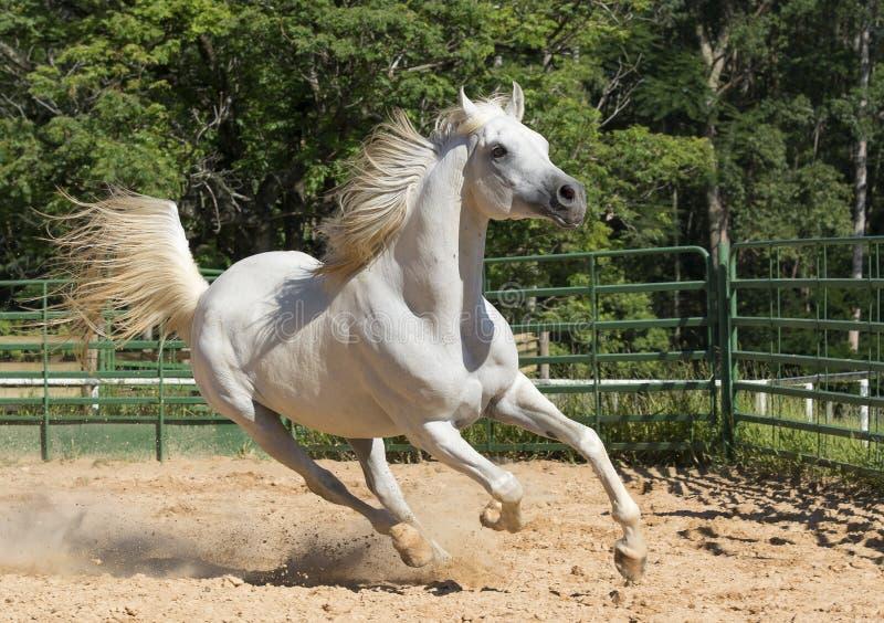 Biały dziki koń zdjęcia stock