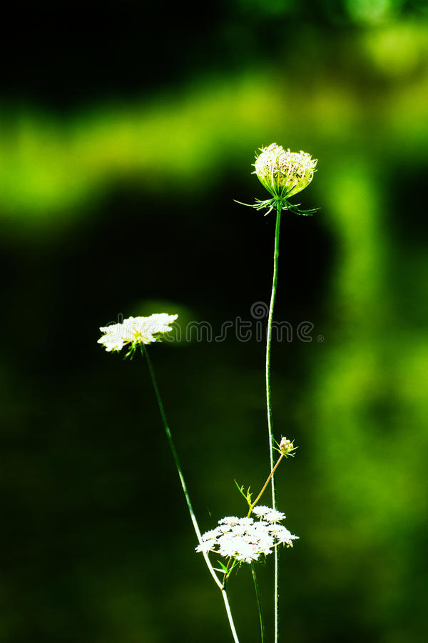 biały dziki kwiat zdjęcie royalty free
