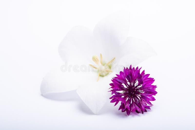 Biały dzwonkowy kwiat i purpurowi cornflowers zamykamy w górę, odizolowywamy na białym tle zdjęcia royalty free