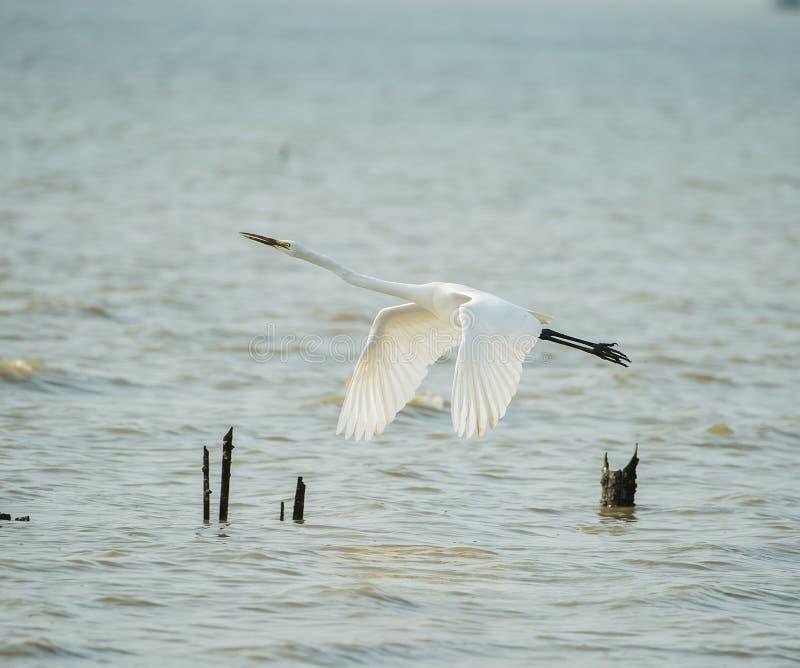biały egret fotografia royalty free