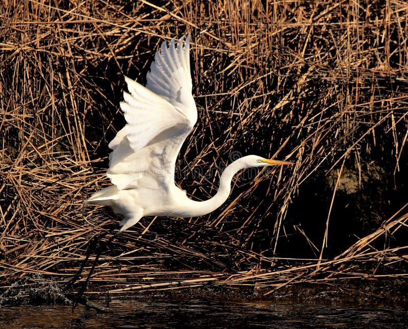 Biały Egret iść szalenie zdjęcie stock