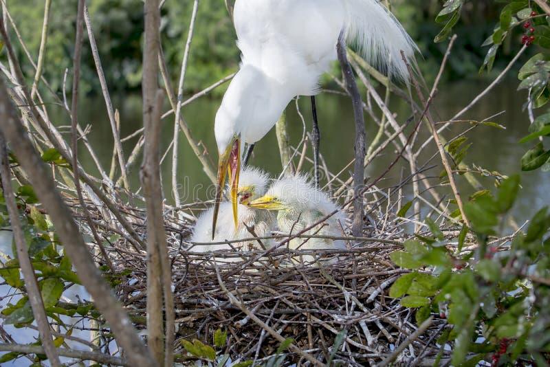 Biały Egret Karmi Jej dzieci obraz stock