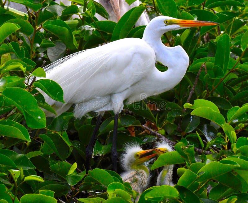 Biały egret w gniazdeczku z dziećmi zdjęcie royalty free